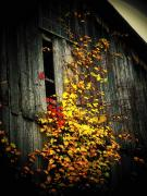 Yellow. Leaves Posters - Leaves on an Old Barn Poster by Joyce L Kimble