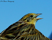 Birding Framed Prints - LeConte Sparrow Calling Framed Print by Barbara Bowen