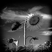 Contrasty Acrylic Prints - L.E.D. Sunflowers Acrylic Print by Troy Ziel