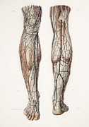 Hand-colored Lithograph Framed Prints - Leg Anatomy, 19th Century Illustration Framed Print by 