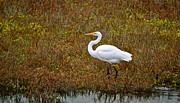 Egret Framed Prints - Leisurely Egret Framed Print by Gwyn Newcombe