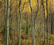 Lemhi Mountains Posters - Lemhi Aspens Poster by Leland Howard