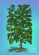 Lemon Art Posters - Lemon Balm Poster by Science Source