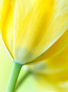 Floral Greeting Cards Posters - Lemon Chiffon Tulips Poster by Kathy Yates