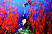 Papua New Guinea Prints - Lemon Damselfish Between Red Sea Whips Print by Beverly Factor
