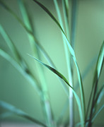 Antiseptic Prints - Lemon Grass Leaves Print by Lawrence Lawry