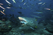 Biting Posters - Lemon Shark Chomps Down On A Large Tuna Poster by Terry Moore