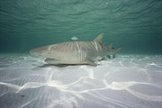 Animalsandearth Photos - Lemon Shark Negaprion Acutidens by Flip Nicklin