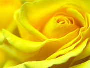 Macro Prints Posters - Lemon Yellow Rose Poster by Kathy Yates