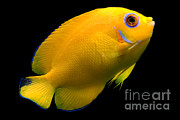 Reef Fish Posters - Lemonpeel Angelfish Poster by Danté Fenolio