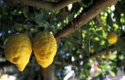 Grow Local Framed Prints - Lemons Hanging From A Lemon Tree Framed Print by Richard Nowitz