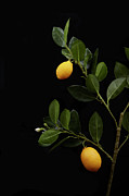 Citrus Fruit Framed Prints - Lemons Still On Their Branch Framed Print by Shana Novak