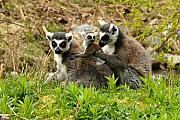 Trio Prints - Lemur Love Print by Marion McCristall