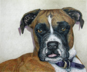 Boxer Dog Drawings Framed Prints - Lennox Framed Print by Beverly Fuqua
