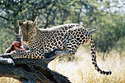 Featured Art - Leopard At Lunch In Namibia by Joe & Clair Carnegie / Libyan Soup