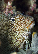 New Britain Posters - Leopard Blenny Perched On Coral, Papua Poster by Steve Jones