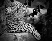 Black-and-white Posters - Leopard Poster by Cesar March