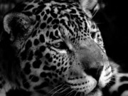 Leopard Running Framed Prints - Leopard Framed Print by Darkus Photo