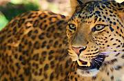 Photo Pastels Posters - Leopard Poster by Louise Fahy