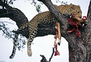 Endangered Cat Posters - Leopard In Tree Poster by Peter Chadwick