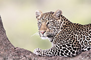 Cat Portraits Prints - Leopard in Tree Print by Richard Garvey-Williams