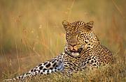 Leopard Print by Johan Elzenga