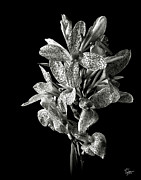 Flower Photos Posters - Leopard Lily in Black and White Poster by Endre Balogh