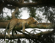Wild Life Prints - Leopard Napping Print by Joseph G Holland