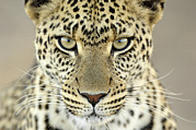 African Cat Prints - Leopard Panthera Pardus Female Print by Martin Van Lokven