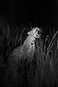 Leopard Hunting Framed Prints - Leopard Roar bw Framed Print by Ivy Yoon