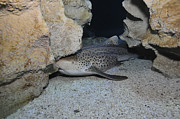 Leopard Shark Prints - Leopard Shark, Blue Zoo Aquarium Print by Mathieu Meur