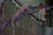 National Museum Of America History Framed Prints - Leopard Tree Cat Preying Framed Print by LeeAnn McLaneGoetz McLaneGoetzStudioLLCcom