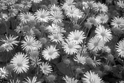 Infrared Framed Prints - LEOPARDS BANE - Infrared Framed Print by Daniel Hagerman