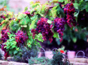 Grapes Digital Art Prints - Les Raisens Print by John Galbo