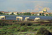 Camargue Horse Posters - Les Saintes Marie de la Mer. Camargue. Provence. Poster by Bernard Jaubert