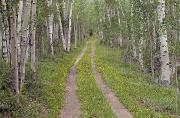 Tree-lined Posters - Less Traveled Road Through Aspens Poster by Dawn Kish