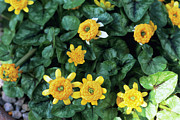 Rosettes Photos - Lesser Celandine by Adrian Thomas
