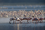 Feeding Birds Prints - Lesser Flamingo Group Feeding Enmass Print by Tim Fitzharris