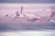 Flamingos Art - Lesser Flamingo Phoenicopterus Minor by Gerry Ellis
