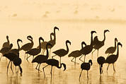 Flamingos Prints - Lesser Flamingo Phoenicopterus Minor Print by Winfried Wisniewski