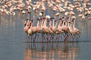 Flamingos Art - Lesser Flamingos Rubber-necking by John Eastcott And Yva Momatiuk