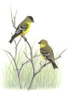 Finch Drawings Metal Prints - Lesser Goldfinch pair Metal Print by Kalen Malueg