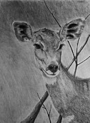 Doe Drawings Posters - Lesser Kudu Poster by Bev Newcomer