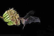 Bat Photos - Lesser Long-nosed Bat Leptonycteris by Tom Vezo
