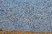 Snow Goose Prints - Lesser Snow Geese Migration Print by Tony Beck