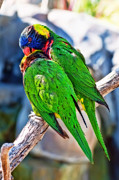 Lorikeet Photos - Let Me Get That For You by Eddie Yerkish