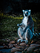 Ring-tailed Lemur Photos - Let me give you a hand... by Jessica Brawley