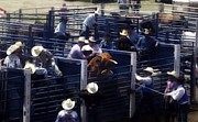 Bull Riders Photos - Let Me Outta Here by Amanda Eberly-Kudamik