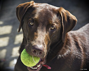Labrador Retriever Photos - Lets Play Ball by Roger Wedegis