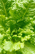 Lettuce Photos - Lettuce closeup by Gaspar Avila